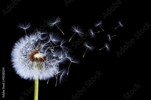 Dandelion blowing on black background © bessi7