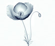 x-ray image of a flower isolated on white , the poppy Papaver