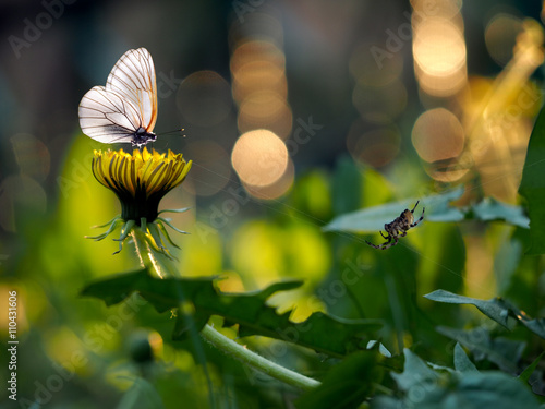 Yellow dandelions on a beautiful background. The evening sun. Butterfly on a dandelion. Web spider. Fabulous background