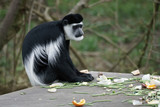 Black and White Colobus (Colubus)