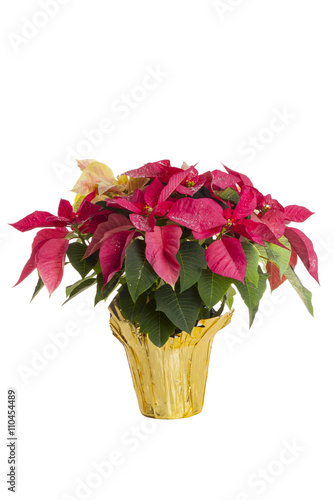 Papiers peints Azalea white and red leaf poinsettia plant