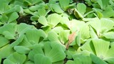 Water lettuce in the river