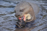 Giant Otter in Amazon River