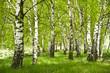 Brzozowy zagajnik wczesną wiosną w pogodny dzień, Młode brzozy z młodymi zielonymi liśćmi w świetle słońca. - 110550499