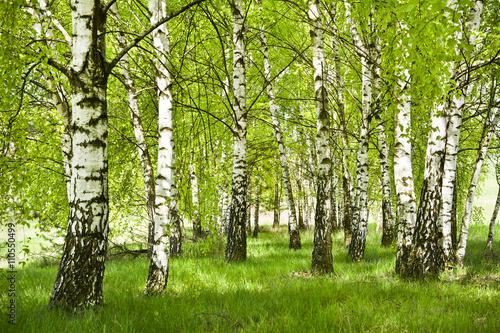 Papiers peints Bosquet de bouleaux Brzozowy zagajnik wczesną wiosną w pogodny dzień, Młode brzozy z młodymi zielonymi liśćmi w świetle słońca.