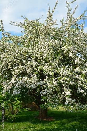 Fotografiet Alter Apfelbaumblüten blüht üppig