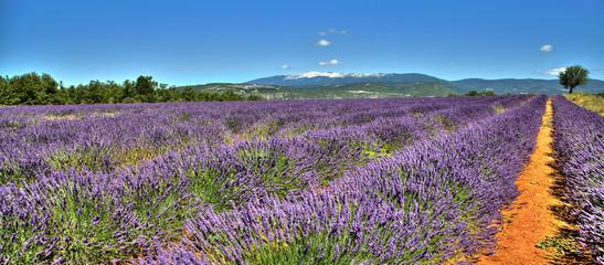 Vue sur le Mont Ventoux depuis un champ de lavandes sur la route de Sault