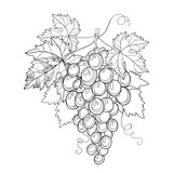 Vector bunch of grape and grape leaves in black isolated on white background. Isolated design elements for wine and winery. Fruit objects in contour style for coloring book and summer decor.