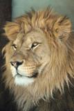 Lion (Panthera leo).