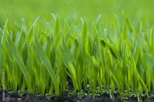 Poster Background of the green young grass closeup