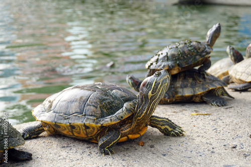 Closeup asian turtle walking on the ground Poster