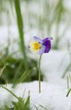 Heartsease, Viola tricolor in snow after snowfall in may