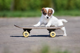 adorable jack russell terrier puppy on a skateboard