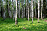 Beautiful birch grove for your relax.