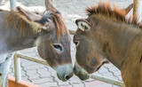 Two brown donkeys  face to face, head touching head seems to show love and affection