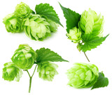 green hops collection isolated on the white background