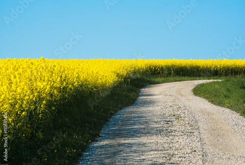 Fototapeta Rapsfält och blå himmel