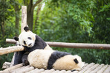 two giant pandas bear sleeping