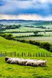 Sheeps on green field in Tuscany (Italy)