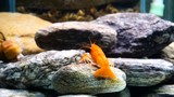 red small lobster in a family aquarium of fresh water