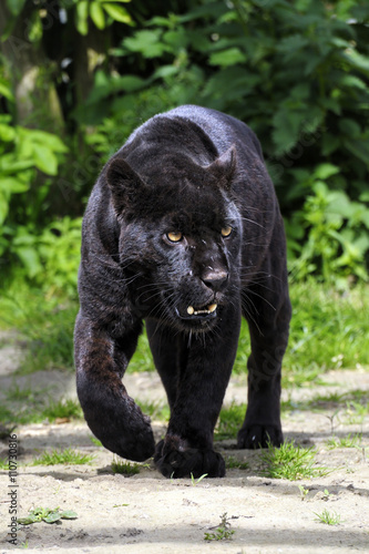Tuinposter Panter Black Jaguar - walking towards viewer