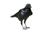 Fototapety Raven Isolated - Raven standing on flat ground