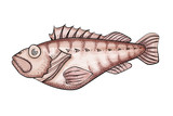 Realistic ocean perch illustration