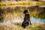 Small Size Black Dog In Grass Near River, Lake. Summer