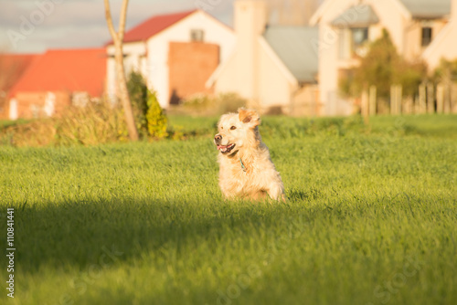Poster Golden Retriever running in the fields