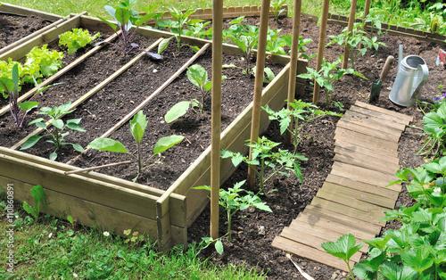 jeunes plants de légumes dans potager avec bac en bois