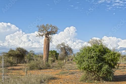 In de dag Baobab Ifaty, Мадагаскар