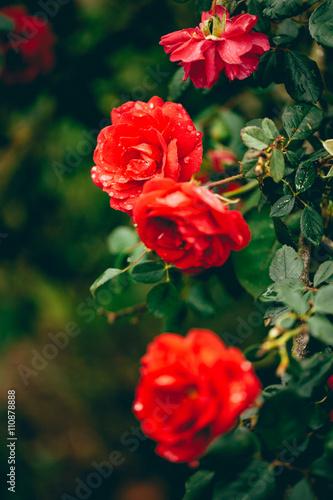 Zdjęcia na płótnie, fototapety, obrazy : Rose Garden