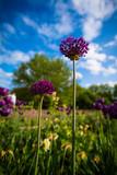 Kugellauch im Blumenbeet