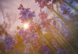 Purple Campanula rapunculoides
