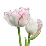 White tulip isolated on white background