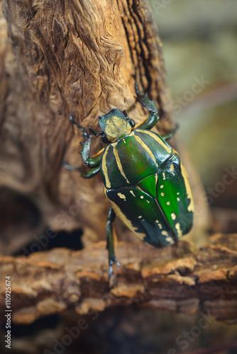 Poster Green flower beetle (Chelorrhina polyphemus confluens) in terrarium