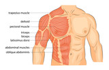 men s body arms shoulders chest and abs.