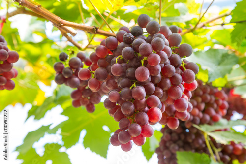 Red Grapes in the vineyard Poster