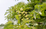 small chestnuts on the tree in nature