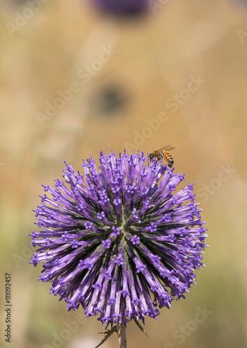 Poster Echinops Sphaerocephalus with bee