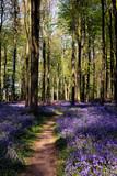 Bluebells in Wepham Woods - 111095677