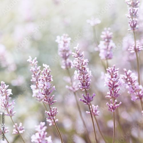 White Lavender - 111097016