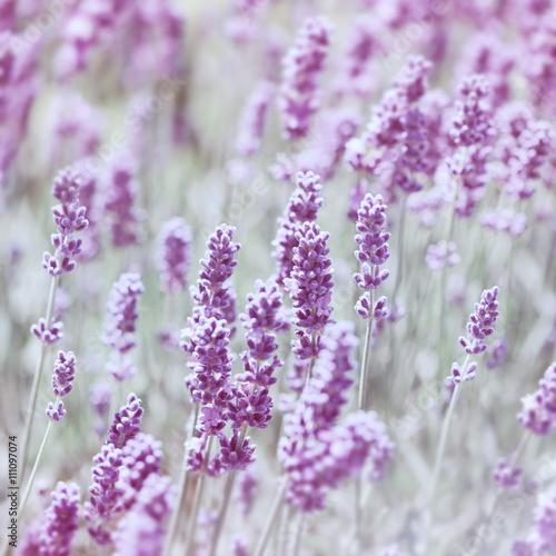Purple Lavender - 111097074