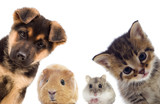 Puppy and kitten and guinea pig - 111139875