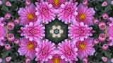 万華鏡.菊,ピンク,4K