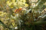 Soldier Beetles (Rhagonycha fulva)