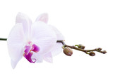 Fototapety Pink orchid with buds on a branch on a white background
