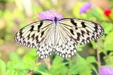 紫の花にとまるオオゴマダラ