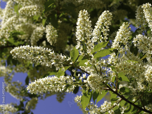Zdjęcia na płótnie, fototapety, obrazy : Blüte der gewöhnlichen Traubenkirsche