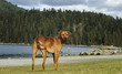 Rhodesian Ridgeback dog standing at water edge at Barnet Marine Park near Vancouver British Columbia